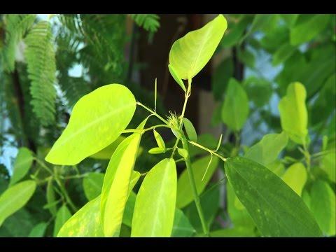 """""""Танцующее растение"""" Десмодиум — экзотика на подоконнике"""