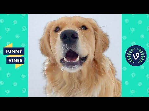 TRY NOT TO LAUGH & AWWW – Cute Dogs Videos   Golden Retriever Compilation   Funny Vine April 2018