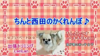 【日常動画】ペキチワMIX犬と西田のかくれんぼ♪