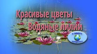 Красивые цветы. Водяные лилии
