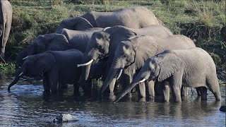 Elephant Drinking Water – Wildlife Videos from Africa.