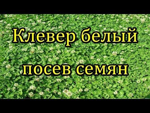 #Клевер белый. Посев семян в открытый грунт.
