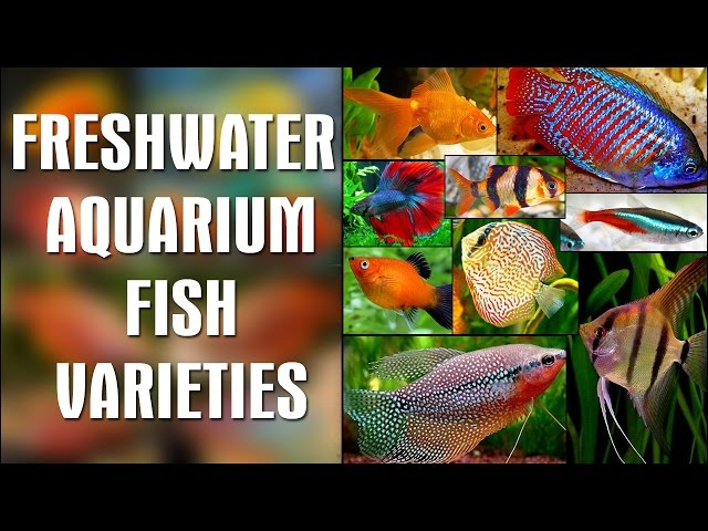 FRESHWATER AQUARIUM FISH VARIETIES