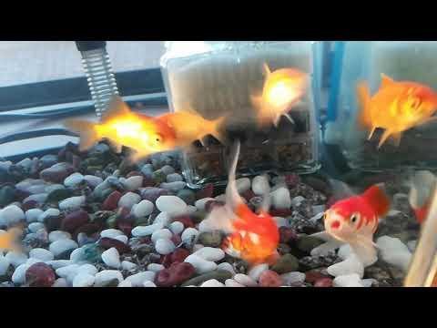 金魚が増えたよー名前は、コメットです今で7匹