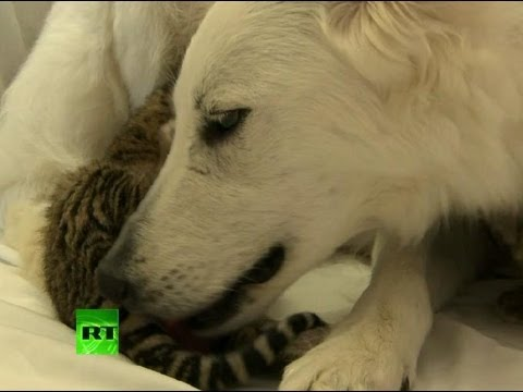 Video: Dog adopts, nurses orphaned tiger cubs in Russia