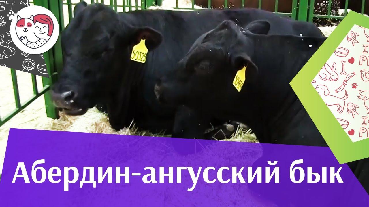 БЫК АБЕРДИН АНГУССКОЙ ПОРОДЫ Агропромышленная выставка Золотая осень 2016 iLikePet