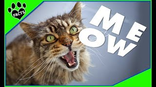 Why is cat meowing so much