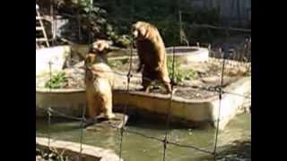 Три медведя. Бой без правил.