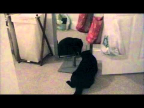 Cat Hates His Own Reflection