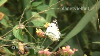 preview picture of video 'Weißling Familie Pieridae bei Arba Minch, Äthiopien, White, Ethiopia'