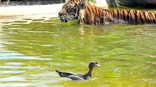 animale tigru vs rata