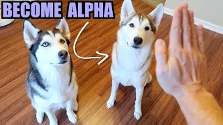 Become The ALPHA HUSKY With These 3 Easy Tips And Tricks!
