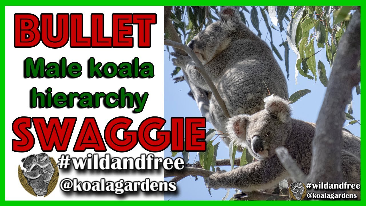 Bullet and Swaggie – male koala hierarchy