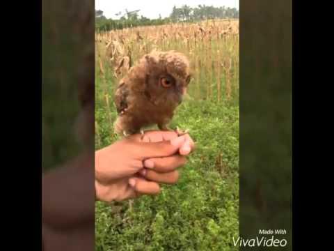 Video Celepuk owl Skill #fttf basic with Boink