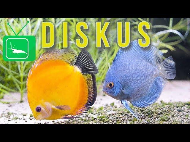 DISKUS - Haltung, Aquarium, Zucht, Tipps | PORTRAIT | GarnelenTv