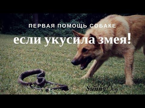 Первая помощь собаке, если укусила змея. Что делать, если собаку укусила змея? Первая помощь.