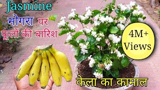 How to grow Mogra plant in Pot   Grow Jasmine Complete Guide
