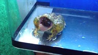 Pixie Frog Feeding Montage