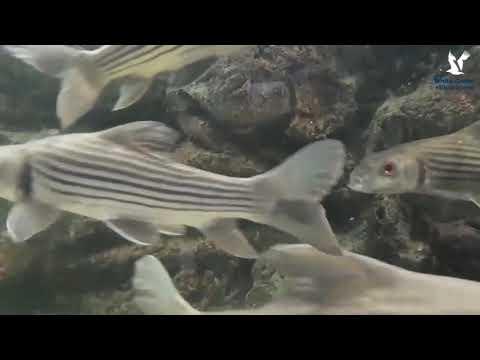 ปลายี่สกไทย คลินิคปลาสวยงาม
