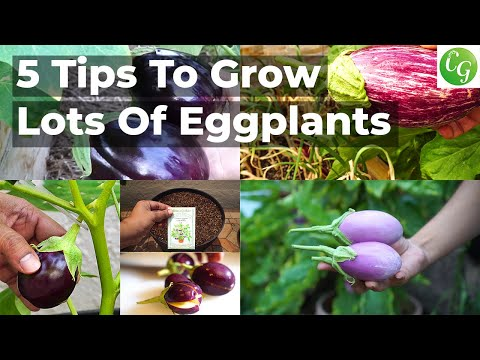 , title : '5 Eggplant Growing Tips To Grow Lots Of Eggplants