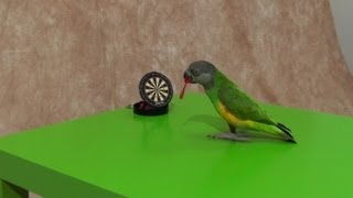 Kili Senegal Parrot - Longest Range Dart Throw of All Time