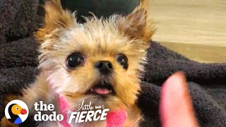 Half-Pound Puppy Wins Over His Big Dog Sister | The Dodo Little But Fierce by The Dodo