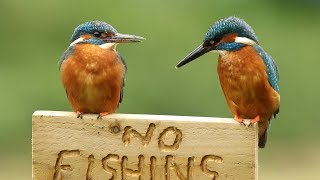 Common Kingfisher - Male & Female with fish and calling.