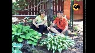 Хоста в саду видео