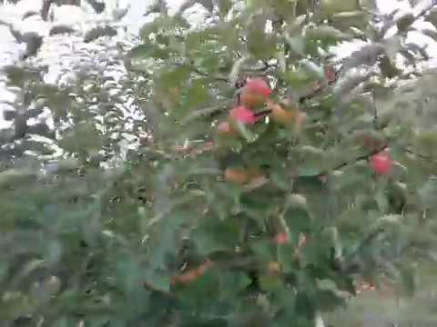 """Сорт яблока """"Чемпион"""" на семенном подвое"""