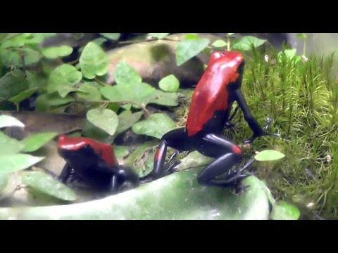 Poison Dart Frogs - My Red Galact feasting on Fruit Flies