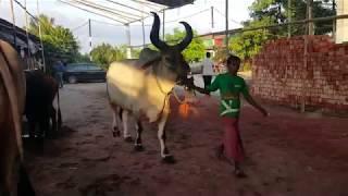 033 Giant Kankrej Bull Collection Exclusive Dhaka Cow Mania