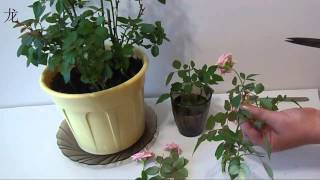 Обрезка комнатной розы и размножение розы черенками видео