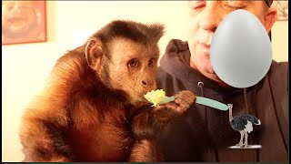 Capuchin Monkey Eats Ostrich Egg With Squirrel Monkey!