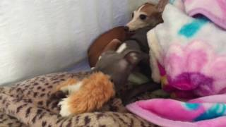 Aug 2016 Mass Italian Greyhound Intake