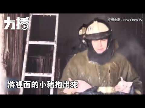 消防員勇救150隻豬