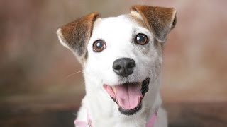 Jack Russell Dog Breed