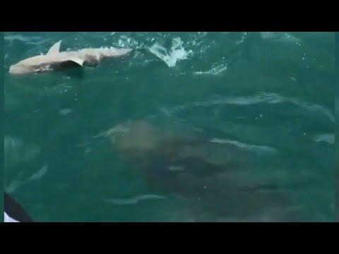 Watch 500-pound goliath grouper swallow shark in one gulp