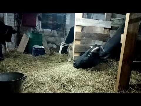 Как решиться завести корову, если вы её боитесь.
