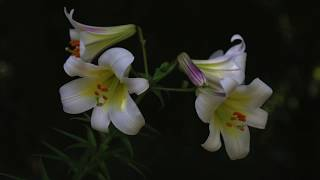 How To Dig, Divide And Plant Lilies