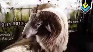 "Ярмарка племенных хозяйств Бурятии  ""Baikal Agro Farm"""