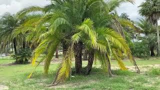 Sylvester/Reclinata Hybrid Palm/Specimen Centerpiece