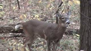 6 Point Buck In Rut And Grunting