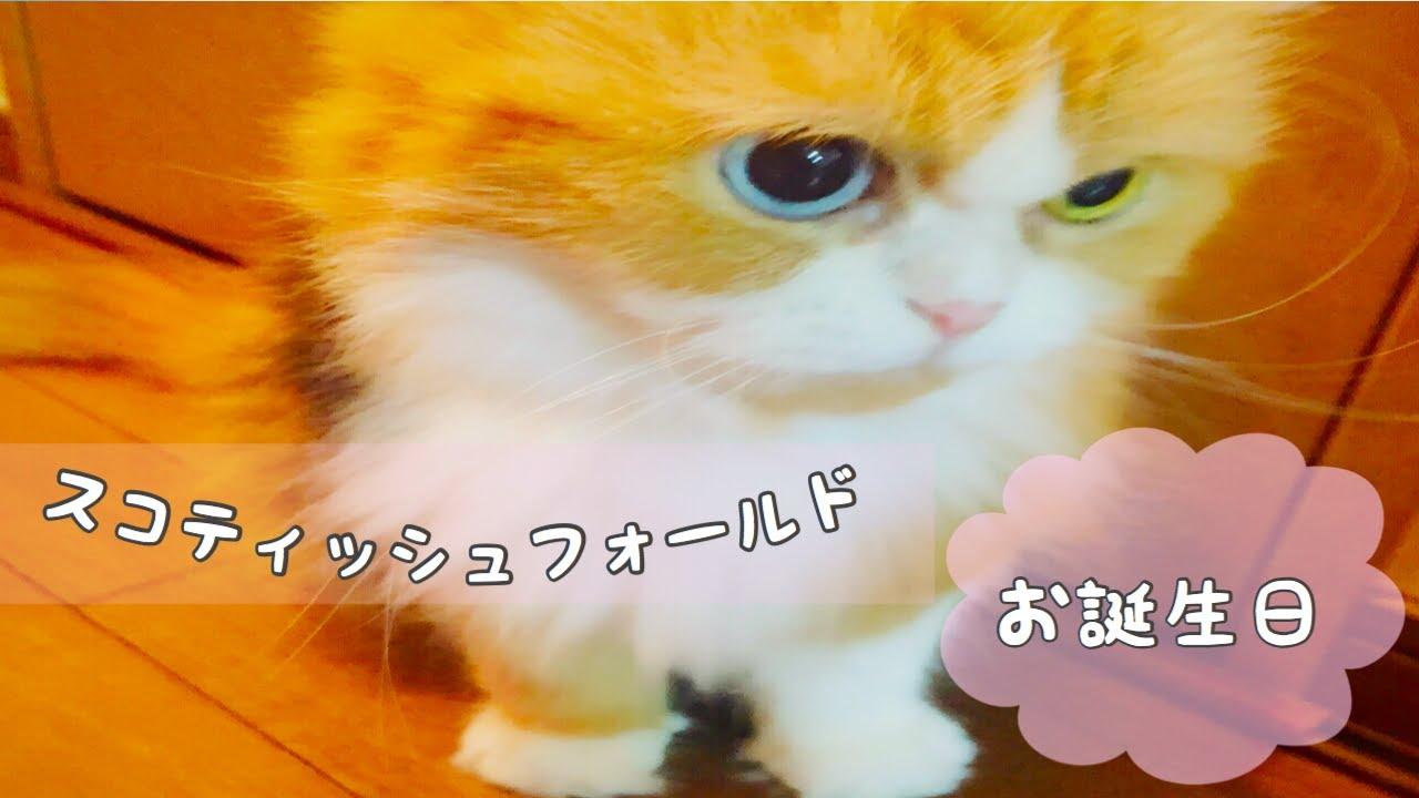 【スコティッシュフォールド】嬉しすぎてママにべったり甘える猫!ティッティ13歳バースデー【Scottish Fold】
