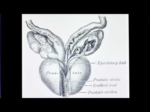 Prostata und seine Lage