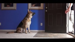 Dog Training: 4 Year Old German Shepherd, Bronx! Before/After 2 Week Board and Train!