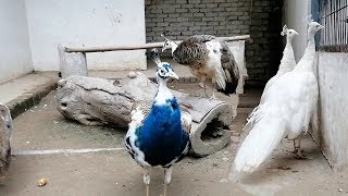 Green Java Peacock & White Peacock Breeding Pairs In Zoo Pakistan 2109