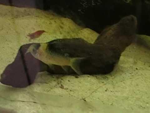 Corydoras(ln5) nijsseni