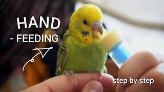 Tips for HAND - FEEDING baby budgies | formula, temperature, cleaning...
