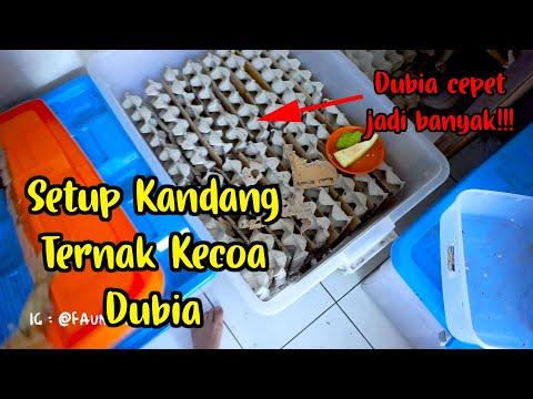 Tour Setting Setup Design Kandang Ternak Kecoa Dubia!! RIBUAN KECOA!!