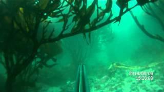 preview picture of video 'Caza Submarina - Antofagasta - Isla Santa Maria - Rollizo curioso'